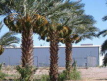 Winterhaven Ranch and Oasis Date Gardens - Organic Dates